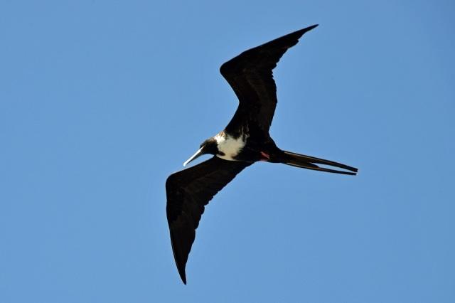 Galapagos Frigate Bird