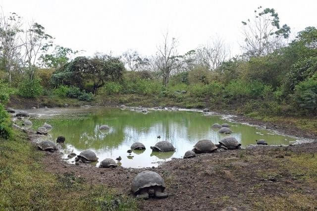 Galapagos giant tortoises pond