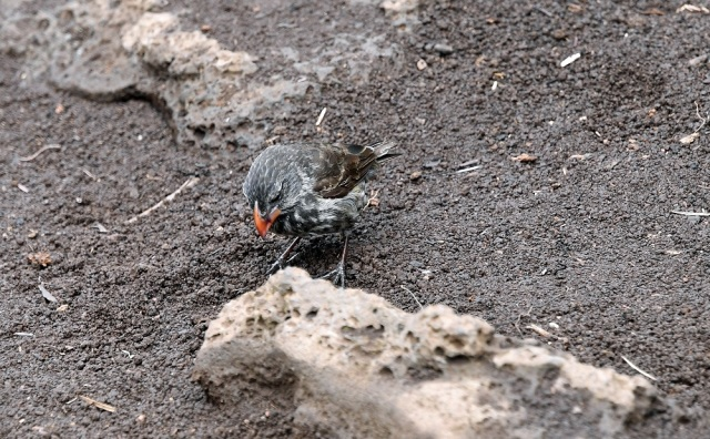 Galapagos ground finch