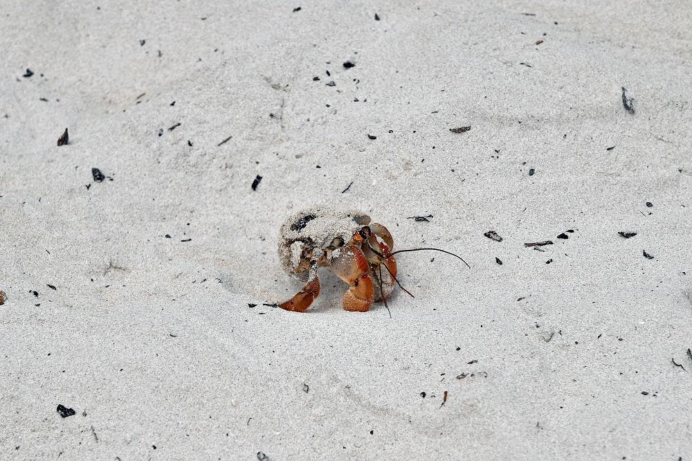 Galapagos Hermit Crab