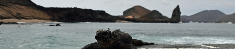 Galpagos marine iguana