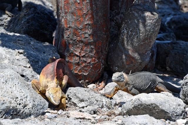 Galapagos hybrid iguana