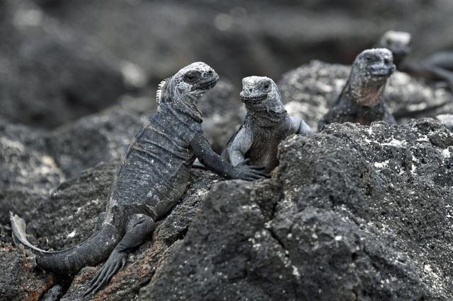 Galapagos baby iguanas
