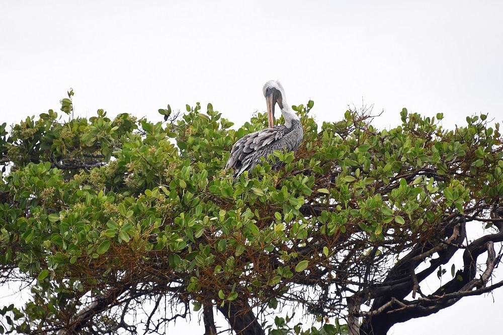 Galapagos Pelican mangrove