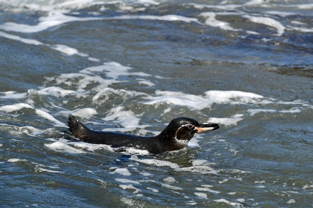 Galapagos penguin swimming