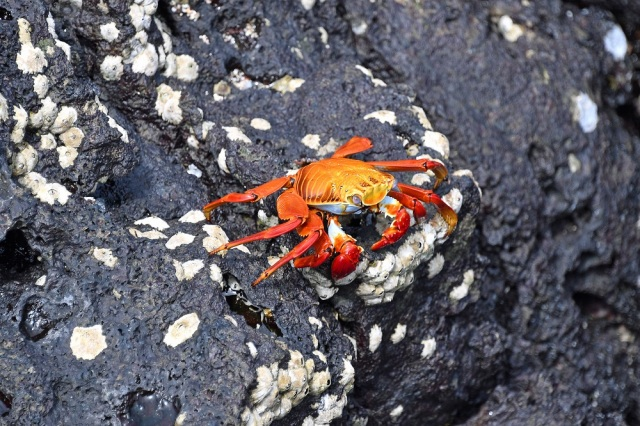 Galapagos red crab