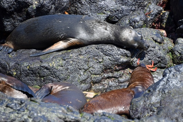 Galapagos sea lion pups