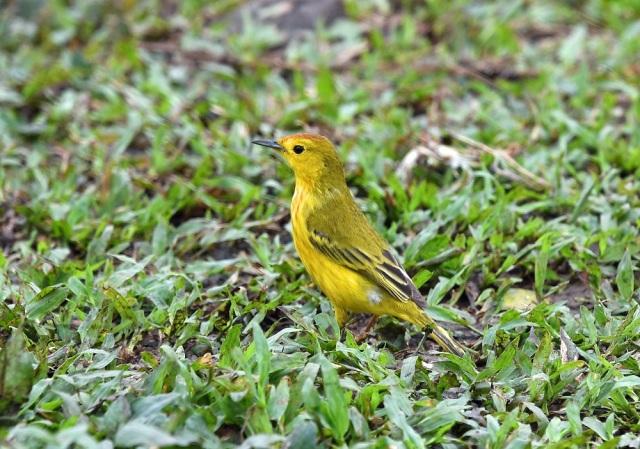 Galapagos Yellow Warbler